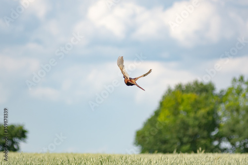 Photo pheasant flying over wheat field