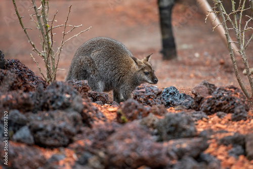 Fototapeta Bennett-Wallaby im Zoo