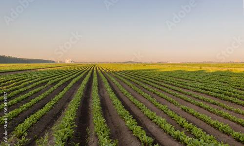 Fotografija Sugar beet crops field, agricultural landscape