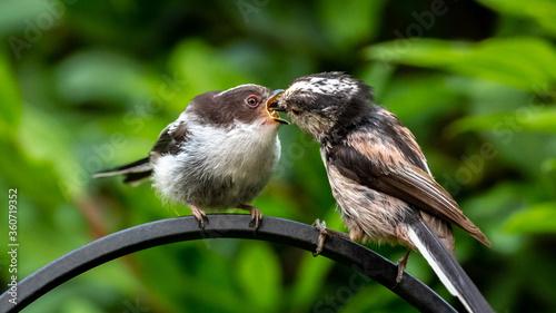 Foto Parent long-tailed tit feeding fledgling