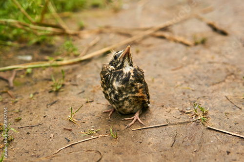 Leinwand Poster fledgling robin sitting on a path