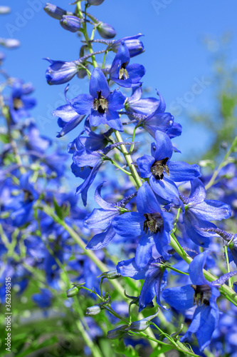 Canvas Print Blue delphinium flowers against the blue cloudless sky in the garden