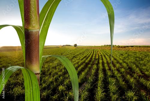 Obraz na plátně Close up sugarcane with plantation in background.