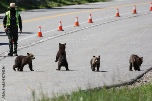 Fototapeta The famous grizzly bear 399 and her four cubs cross the road in Grand Teton National Park under safe watch by park rangers