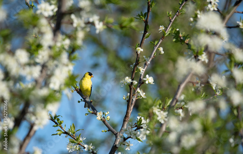 Valokuva Yellow goldfinch sitting in a tree that is blooming in springtime