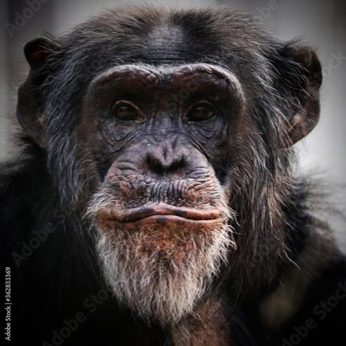 Tableau sur Toile Close-up Portrait Of Chimpanzee