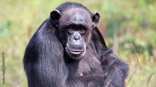 Fotografía Adult chimpanzee close up