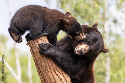 Fotografie, Obraz Baby black bear playing in the tree