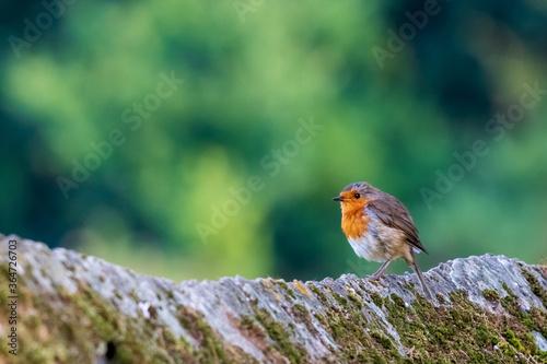 Fototapeta European Robin Erithacus rubecula Green Blurred Background O Seixo Mugardos Gali