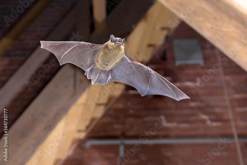 Leinwand Poster Pipistrelle bat flying inside building