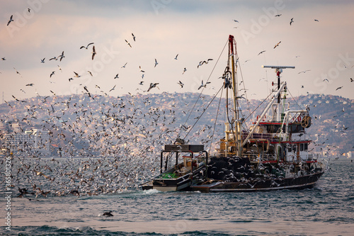 Fotografiet Fishing boat heavily loaded by fishes in its back is being followed by hundreds of seagulls so that they can be fed as well