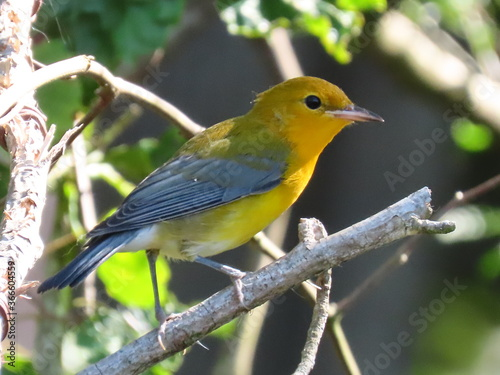 Fototapeta prothonotary warbler in a southern swamp