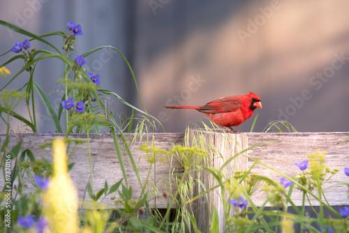 Vászonkép Red Northern Cardinal Bird Sitting on Fence with Wildflowers