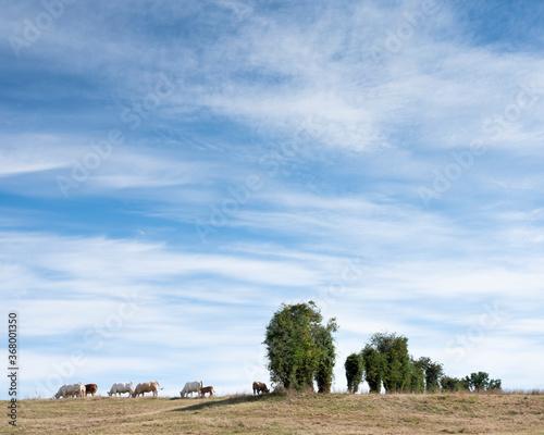 Fotografie, Obraz white cows in rural landscape of nord pas de calais in france
