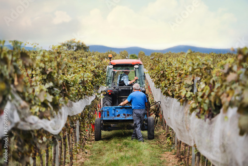Stampa su Tela Rear view of tractor with farmers in vineyard, grape harvest concept