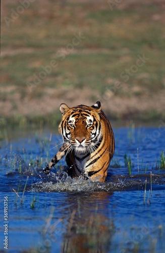 Fotografering BENGAL TIGER panthera tigris tigris, ADULT ENTERING WATER
