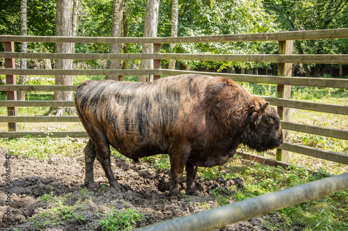 Canvas Print Zubron - hybrid of domestic cattle and european bison