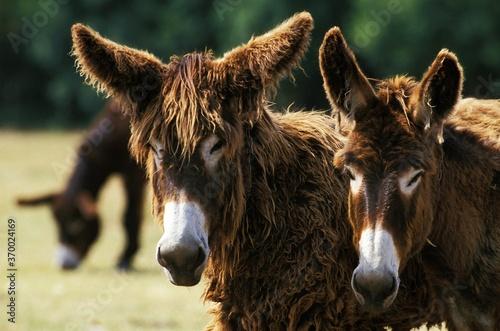 Canvas-taulu Poitou Donkey or Baudet du Poitou, a French Breed, Portrait of Adults