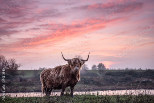 Wallpaper Mural Highland cattle with big horns grazing at the Dintelse Gorzen in the Netherlands