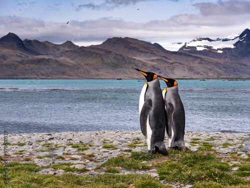 Tableau sur Toile King penguins standing by the sea