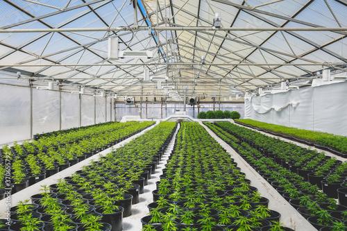 Fotografiet Cannabis plants in a greenhouse
