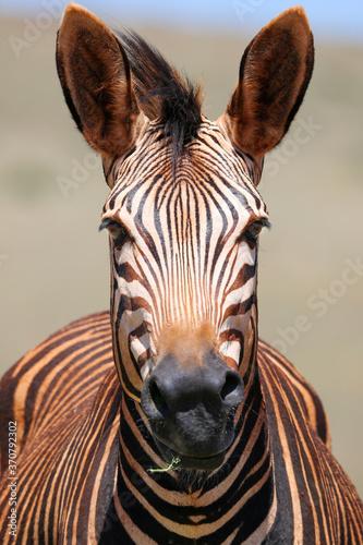 Fototapeta zebra close up - dust bath