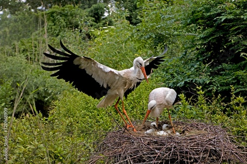 Wallpaper Mural White Stork, ciconia ciconia, Pair with Chicks on Nest