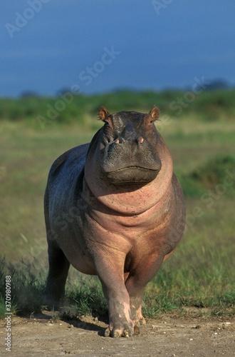 Carta da parati Hippopotamus, hippopotamus amphibius, Masai Mara Park in Kenya