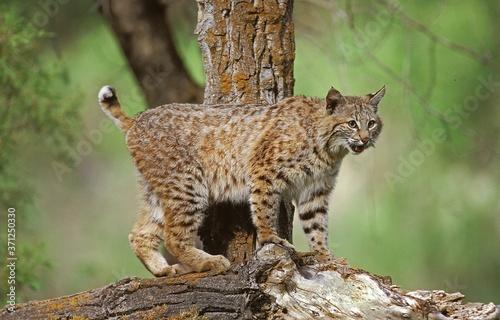 Canvas Print Bobcat, lynx rufus, Adult standing Branch, Canada