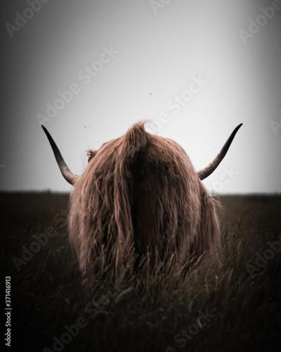Photo Highland Rinder in Sank-Peter-Ording