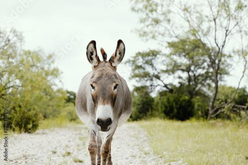 Fényképezés Mini donkey on path through green farm field during summer, looking at camera close up