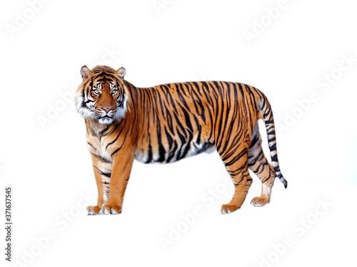 tiger on white background Fototapet