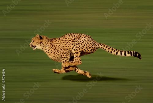 Canvas Print Cheetah, acinonyx jubatus, running
