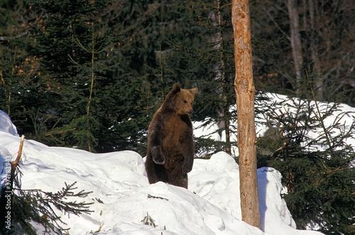 Brown Bear, ursus arctos, Adult standing on its Hind Legs, standingin Snow Fototapet