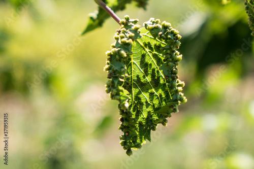 Fotografia Pest infested grape leaves in a farm vineyard