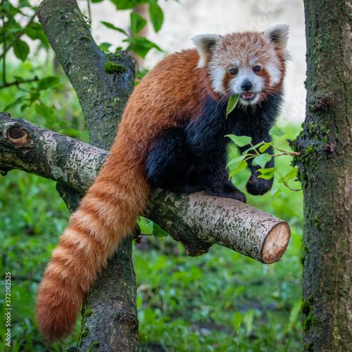 Obraz na płótnie red panda eating bamboo