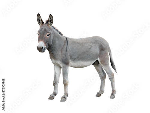 Fotografia Donkey isolated on white background.