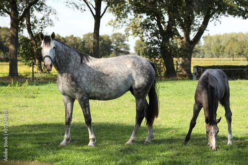 Tela A gray horse with her foal in the meadow.