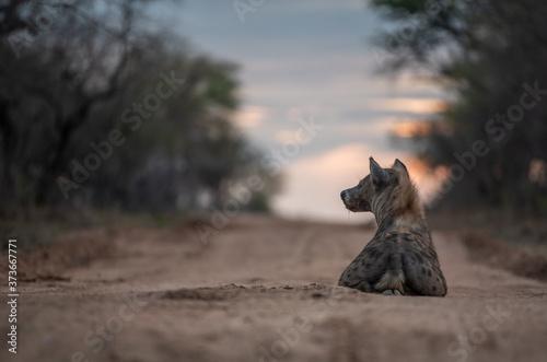Fotografie, Obraz Sotted hyena in sunset