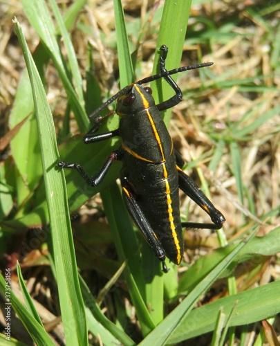 Tablou Canvas Black tropical grasshopper on grass