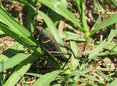 Obraz na plátně Black tropical grasshopper on grass