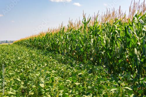 Fotografía border of soybean and corn fields in summer