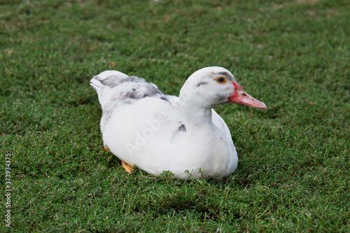 duck kaczka fowl ptak zwierzeta wiejskie white duck かも