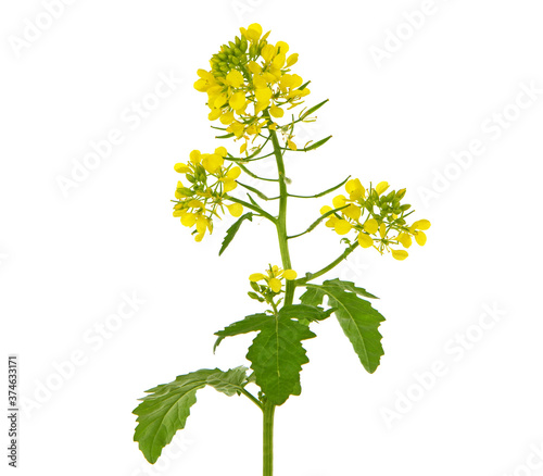 Fotografia Blooming plant of White mustard isolated on white background