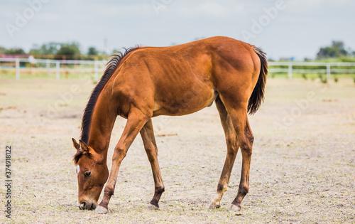 Fotografie, Obraz Brown stallion grazes in the meadow