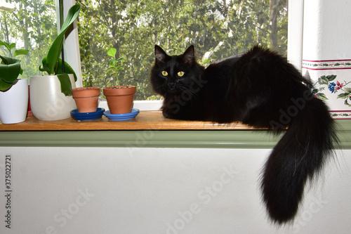 Valokuvatapetti Fluffy black cat with yellow eyes sitting in window