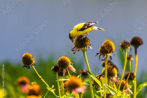 Valokuva Male goldfinch looking at coneflower seeds in a garden
