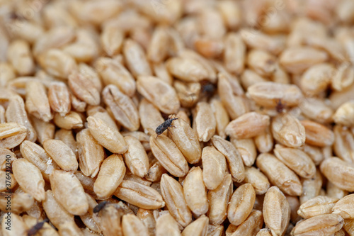 Fotografia grain weevil, durum wheat infested with parasites