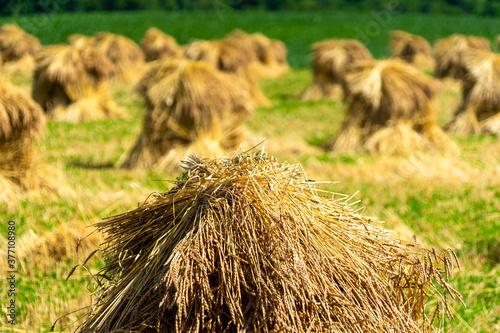 Fototapeta Amish / mennonite wheat / barley bails of straw waiting to be thrashed