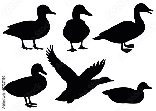 Slika na platnu Domestic and wild ducks.